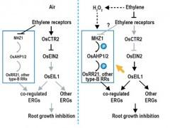 遗传发育所发现组氨酸激酶MHZ1通过和乙烯受体互作调控水稻根部乙烯反应